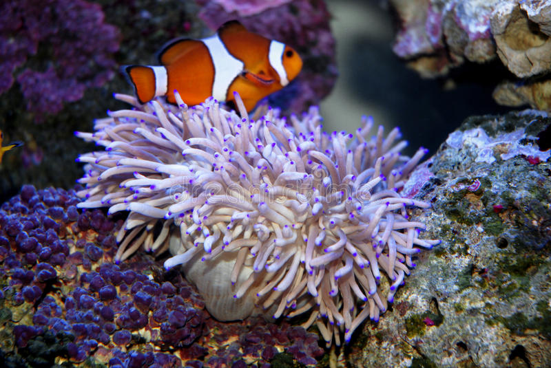 Download Tropical Fish and anemone stock photo. Image of colors - 13423920