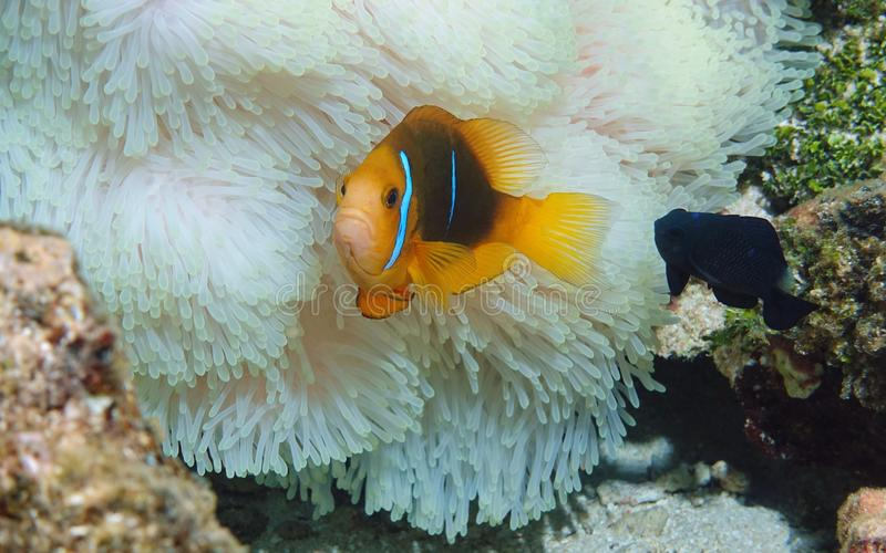 Tropical fish anemonefish and sea anemone. Tropical fish orange-fin anemonefish with a damselfish and sea anemone tentacles underwater in the Pacific ocean stock images