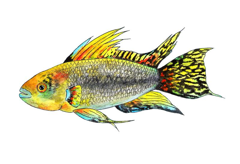 Tropical fish apistogramma cacatuoides. Watercolor illustration. It is a tropical fish apistogramma cockatoo, exotic fish in the aquarium. Watercolor fish for stock illustration