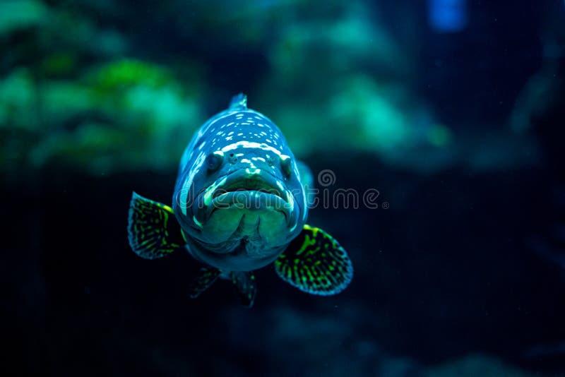 Tropical fish in aquarium at ocean, sea salt creature. Big fish in aquarium beautiful animal at ocean. royalty free stock photo