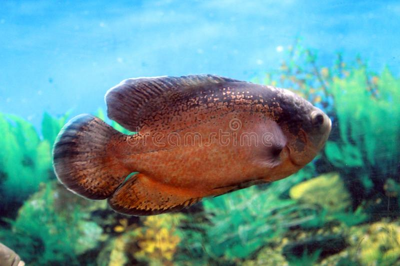 Tropical fish from asia stock images