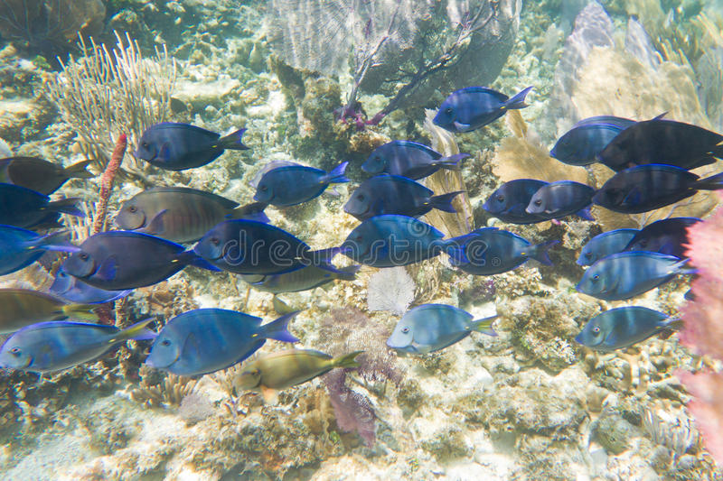 Tropical fish in belize stock photo image of fauna color for Dream of fish swimming