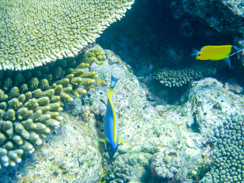 Tropical fish blue surgeonfish and over coral reef in Indian Ocean waters royalty free stock image