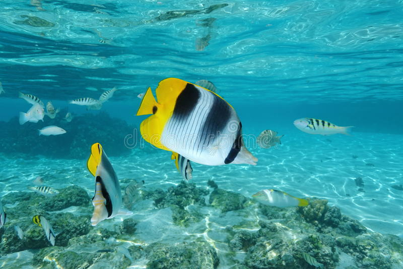 Tropical fish butterflyfish Chaetodon ulietensis. Tropical fish, Pacific double-saddle butterflyfish, Chaetodon ulietensis, underwater in the lagoon of Moorea royalty free stock photo