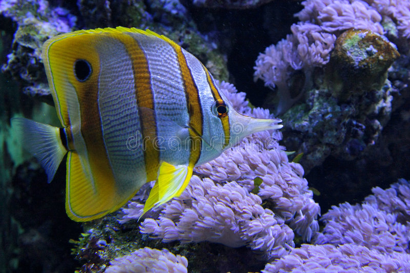 Tropical fish chelmon stock image