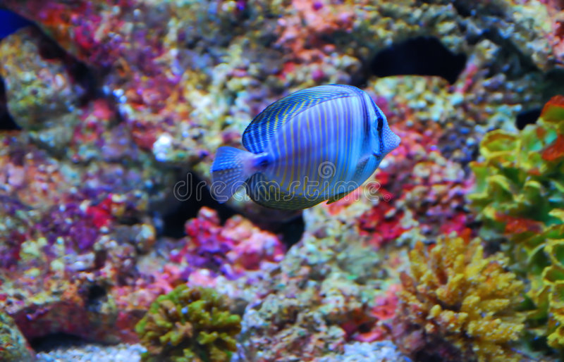 Tropical fish in the colorful corals royalty free stock photo