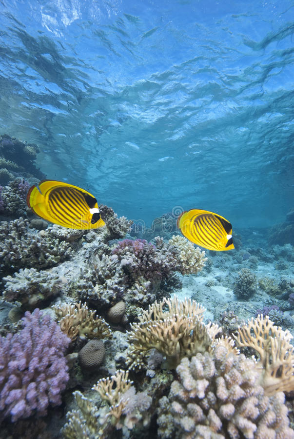 Download Tropical Fish And Coral Reef Stock Photo - Image: 12451770