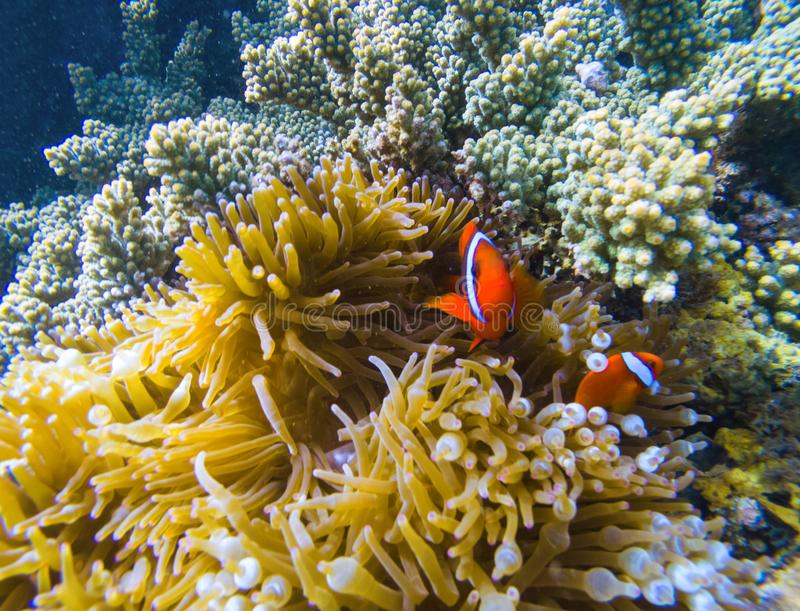 Tropical fish in coral reef. Orange clownfish in yellow actinia. Cute clown fish underwater. Marine animal and plant symbiosis. Coral reef ecosystem with royalty free stock photography