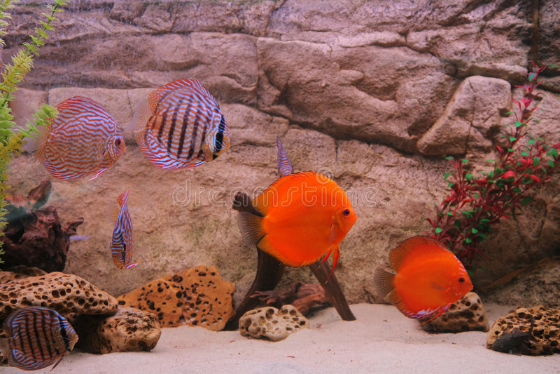 Tropical fish discus (Symphysodon) stock images