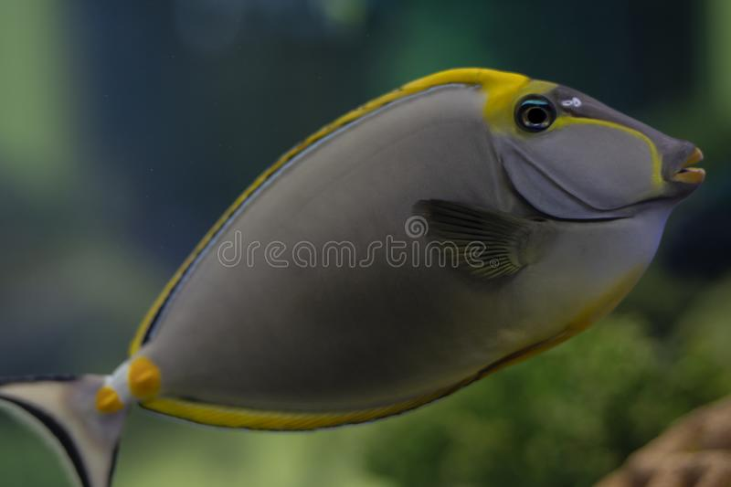 Tropical Fish Naso Tang Naso lituratus -Thailand. On the Natural background royalty free stock images