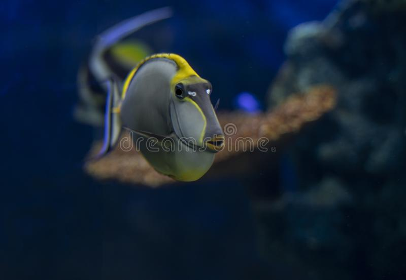 Tropical Fish Naso Tang Naso lituratus -Thailand. On the Natural background stock images