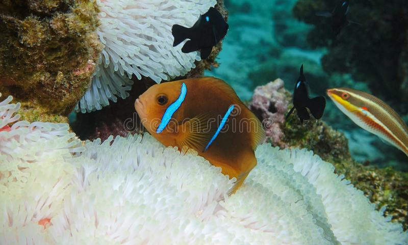 Tropical fish orange-fin anemonefish. Amphiprion chrysopterus, over sea anemone tentacles underwater in the Pacific ocean, Rarotonga, Cook islands stock image