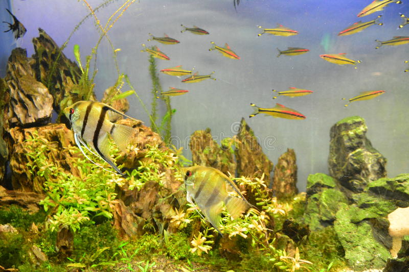 Tropical fish. These fish peculiar shape, bright colors, and the formation of coral grass riotous with colour, beautiful scenery royalty free stock image