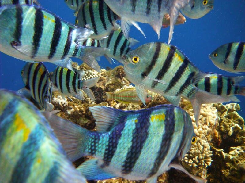 Tropical fish, red sea in Sharm el Sheikh. School of tropical sergeant major fish, red sea in Sharm El Sheikh royalty free stock image