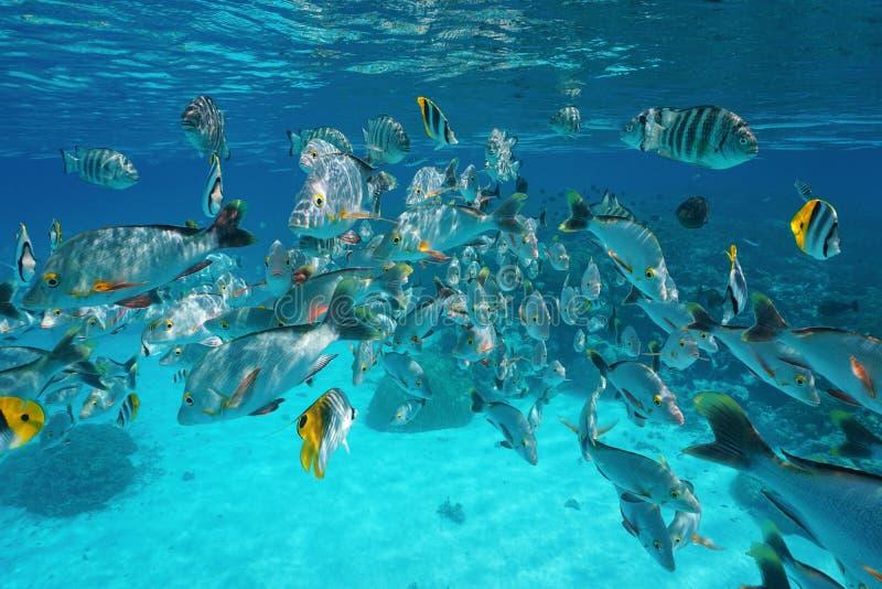 Tropical Fish Shoal Underwater Pacific Ocean Stock Photo ... Pacific Ocean Water