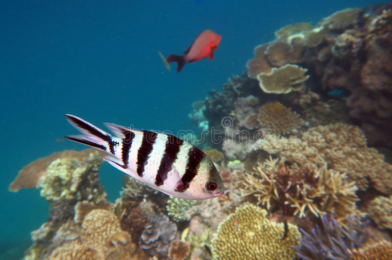 Tropical fish swim in a coral reef at the great barrier reef. In Queensland, Australia royalty free stock photos