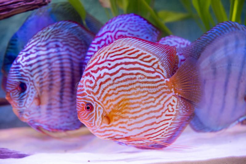 Tropical fish of the Symphysodon discus spieces. Close up on tropical fish of the Symphysodon discus spieces royalty free stock photography