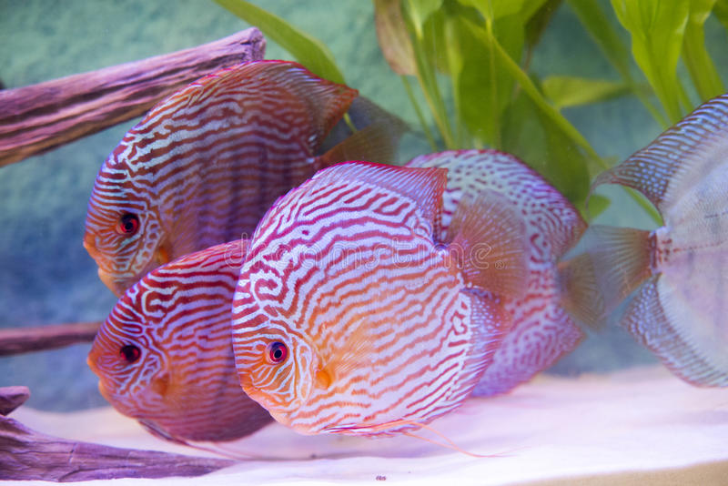 Tropical fish of the Symphysodon discus spieces. Close up on tropical fish of the Symphysodon discus spieces stock image