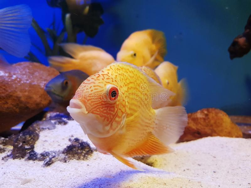 Tropical fish in tank stock photography
