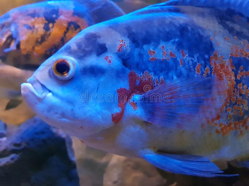 Tropical fish in a tank stock photography