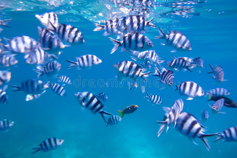 Tropical Fish. Underwater: Tropical fish in Mamanuca Islands Group, Fiji, South Pacific stock photography