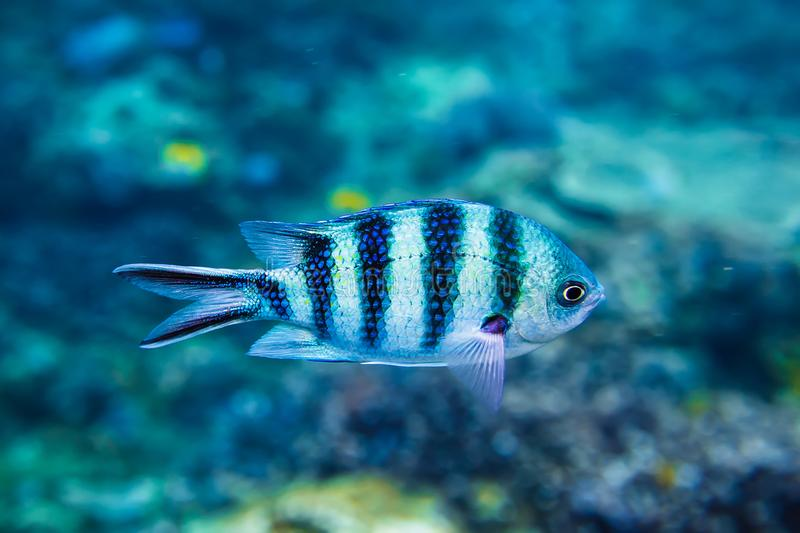 Tropical fish is underwater. Sea life in Indian ocean. royalty free stock photography