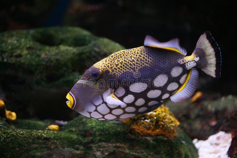 Tropical fishBalistoides conspicillum stock image