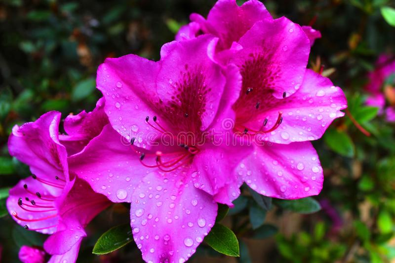 A tropical flower from the azalea family stock images