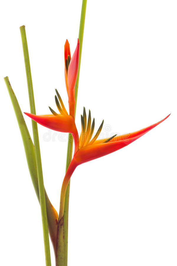 Tropical flower Bird of Paradise, isolated stock images