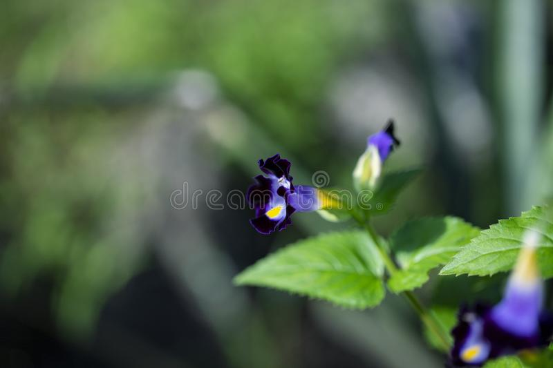 Tropical flower closeup photo with blurry background. Purple and yellow flower with green leaf. Summer garden detail. stock photo
