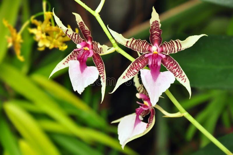 Tropical flower exotic. Tropical flower, flowers of exotic plant (Oncidium Hastilabium stock photos