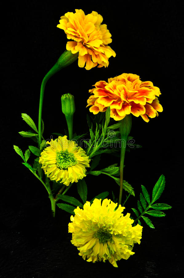 Beautiful yellow flower on black background royalty free stock image