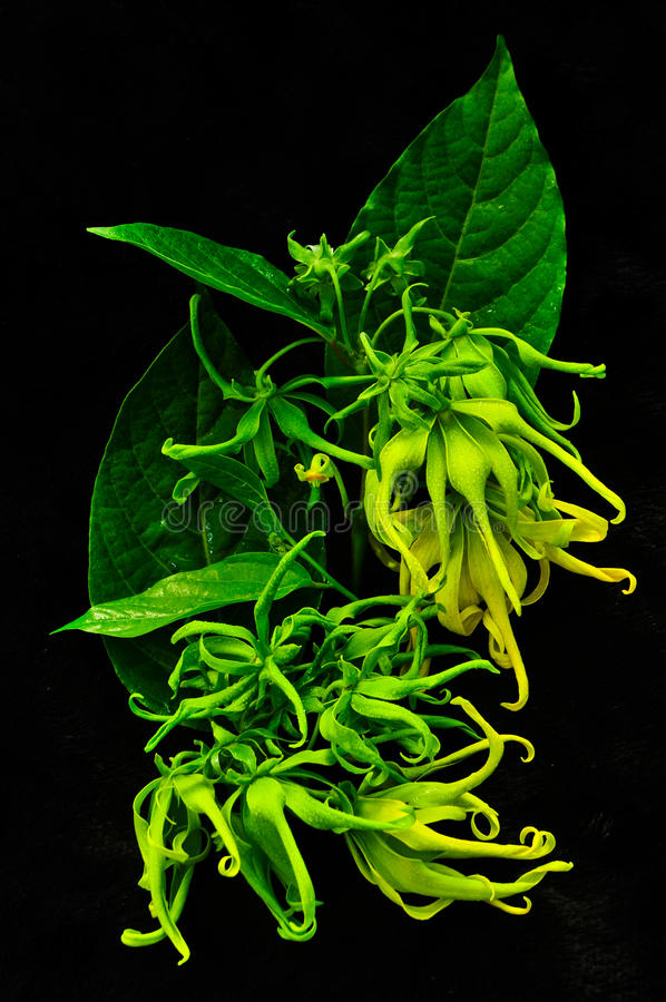 Beautiful yellow flower on black background royalty free stock images