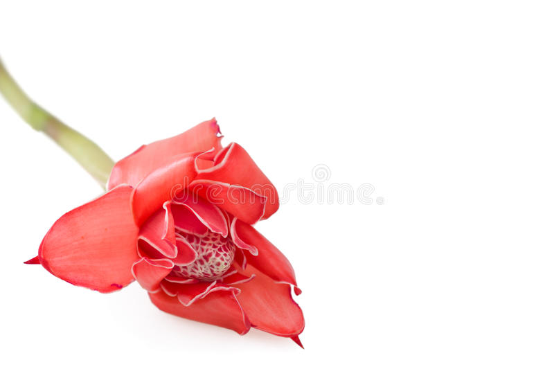 Tropical Flower Ginger Torch On White Background Stock Images