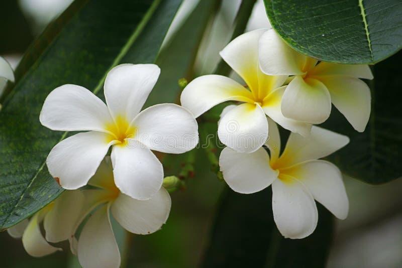 Tropical flower, Leelavadee royalty free stock photo