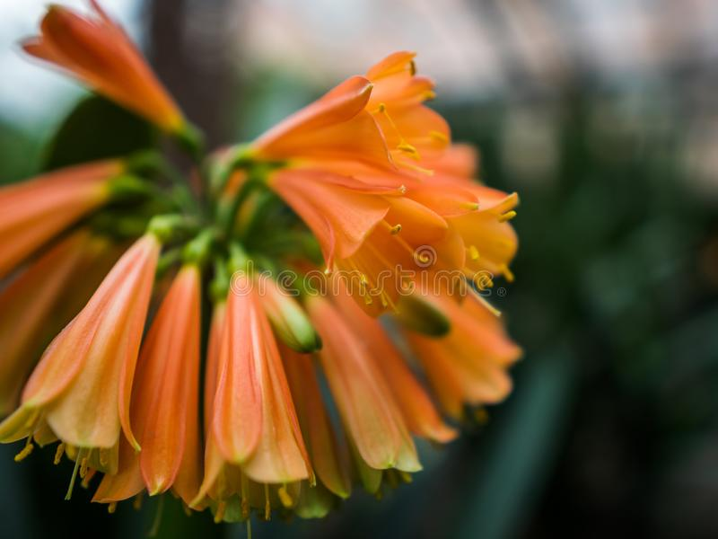 Tropical flower of orange color in a greenhouse. The blossomed flower in the spring stock images