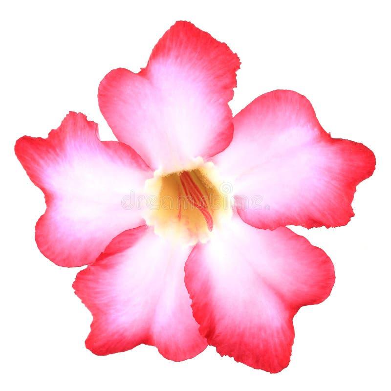 Download Tropical Flower Pink Adenium Stock Image - Image of florist, impala: 24846171