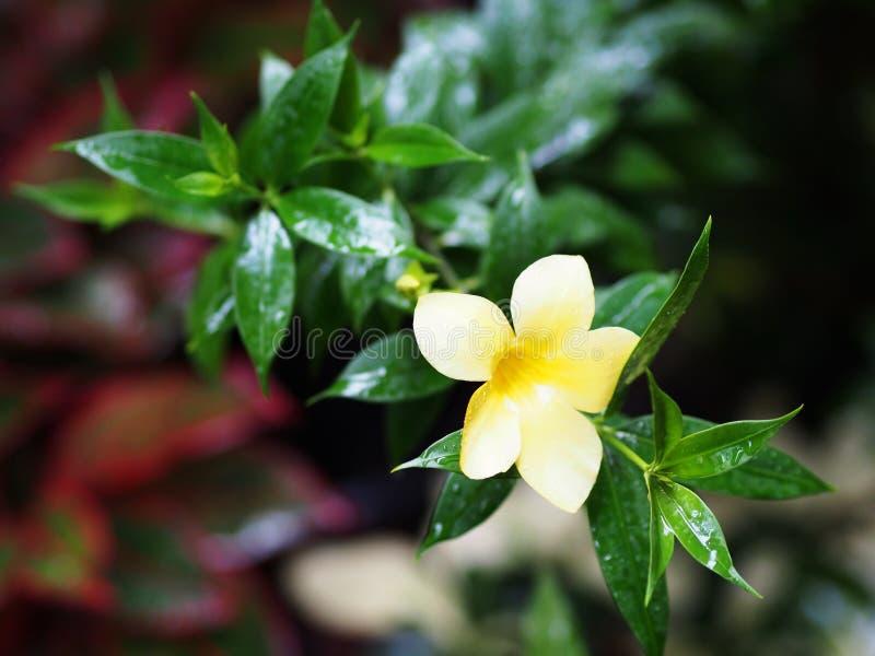 Tropical Flower with a plant. After Summer Rain. in Bangkok. Tropical Flower with a plant. After Summer Rain stock photos