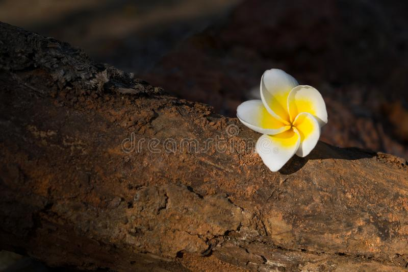 Tropical flower plumeria at brown stone royalty free stock photo