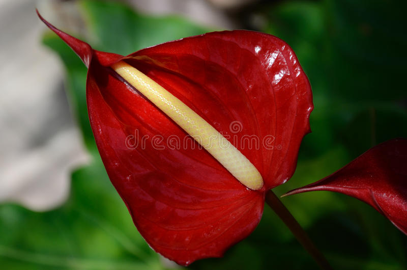 Tropical Flower. Tropical Red Anthurium Flower Florida Caribbean royalty free stock photography