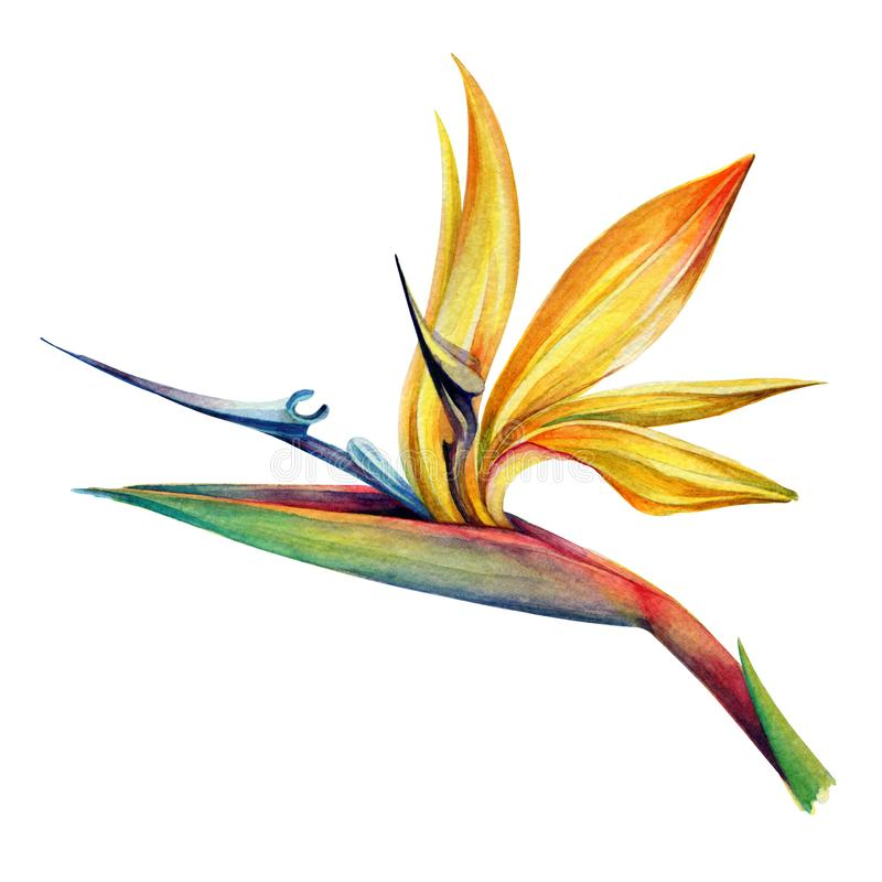 Free Tropical Flower Strelitzia. Watercolor. Stock Image - 142224441