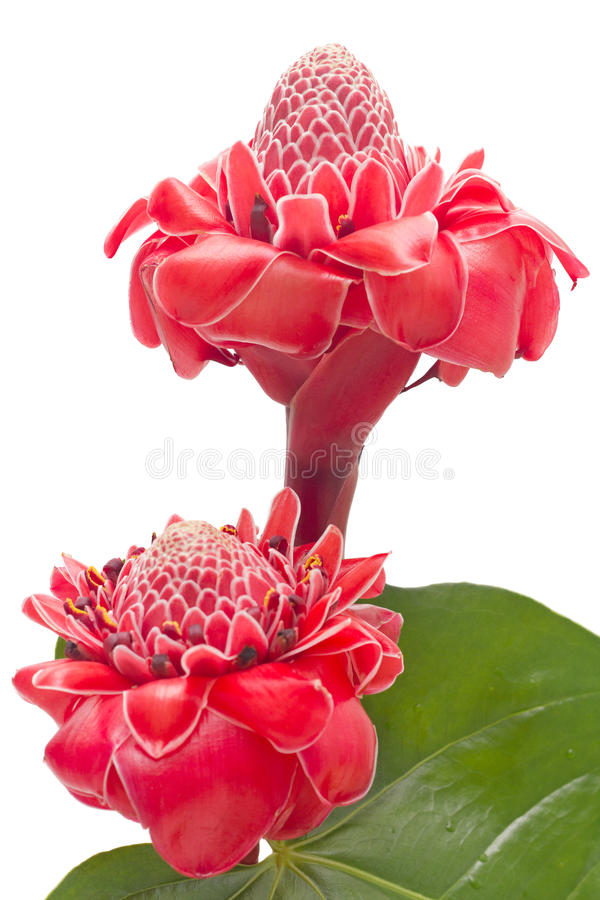 Download Tropical Flower Torch Ginger Isolated Stock Photo - Image: 23319522