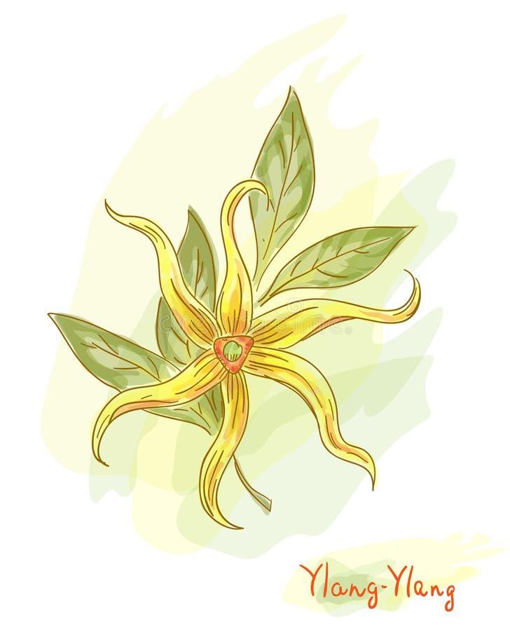 Tropical flower - ylang-ylang (Cananga). vector illustration