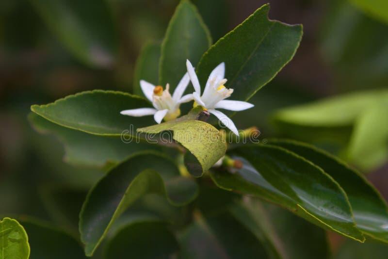 TROPICAL FLOWERING WHITE PLANT, ECUADOR royalty free stock photo