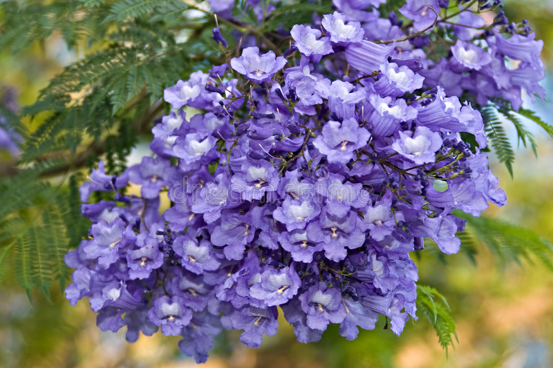Tropical flowers. Jacaranda tree is native in Tropical America, with ferny leaves and purple flowers is also the symbol of Pretoria city in South Africa stock photography
