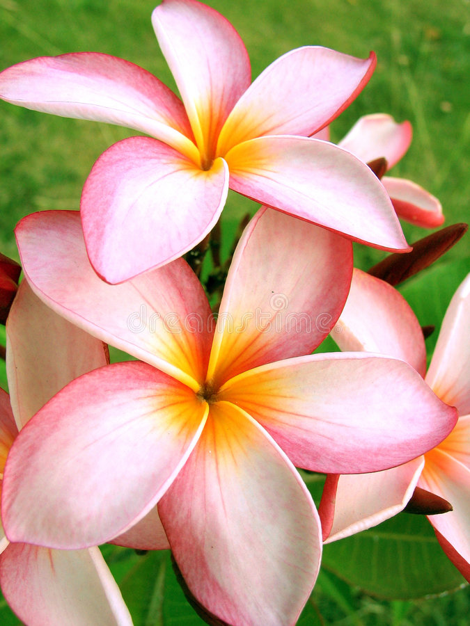 Tropical flowers royalty free stock image