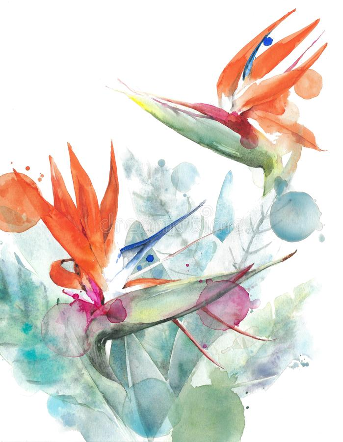 Tropical flowers bird of paradise strelitzia watercolor painting illustration isolated on white background. Tropical flowers bird of paradise strelitzia stock illustration