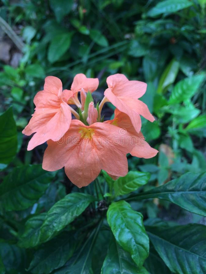 Tropical flowers in bloom, Nature of Sri Lanka stock photos
