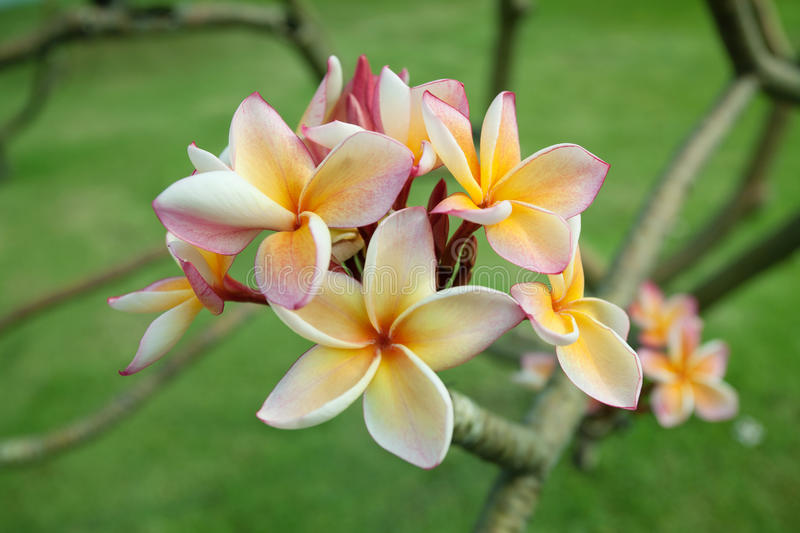 Download Tropical Flowers Frangipani (plumeria) Stock Photography - Image: 26542212