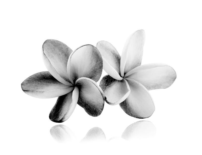 Tropical flowers frangipani (plumeria) black and white stock images